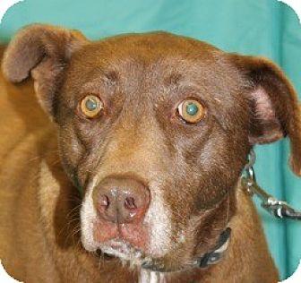 Labrador Retriever Mix Dog for adoption in New Roads, Louisiana - Latte