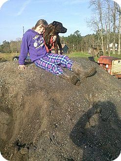 German Shepherd Dog/Labrador Retriever Mix Dog for adoption in North, Virginia - Carrott