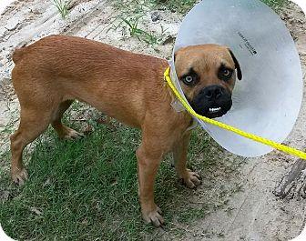 Pug/Boxer Mix Dog for adoption in East Hartford, Connecticut - Otis