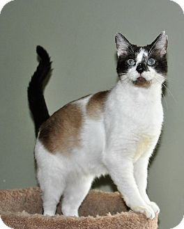 Snowshoe Cat for adoption in Flowery Branch, Georgia - Murphy