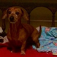 Dachshund Dog for adoption in Pearland, Texas - Happy
