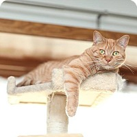 Domestic Shorthair Cat for adoption in Des Moines, Iowa - Dolly