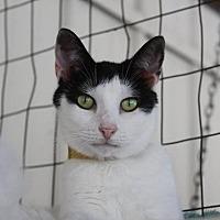 Domestic Shorthair Cat for adoption in New Bern, North Carolina - Briley