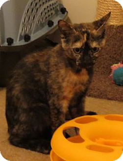 Domestic Shorthair Cat for adoption in Harrisburg, Pennsylvania - Lisa - Kitten