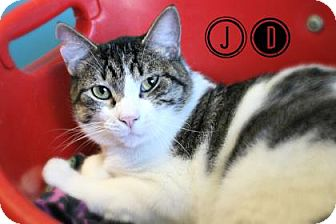 Domestic Shorthair Cat for adoption in West Des Moines, Iowa - JD