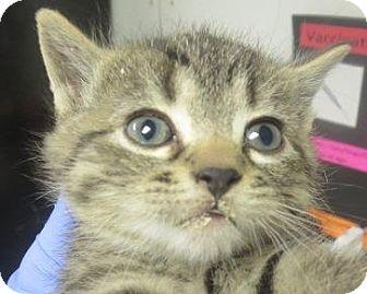 Domestic Shorthair Kitten for adoption in Lincolnton, North Carolina - Donny
