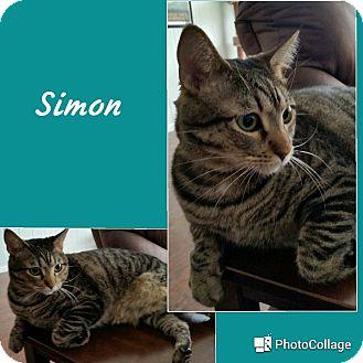 Domestic Shorthair Cat for adoption in Arlington/Ft Worth, Texas - Simon