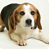 Adopt A Pet :: Dalton - Dumfries, VA