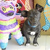 Adopt A Pet :: Mighty Mouse - San Antonio, TX