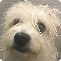 Adopt A Pet :: Oscar - Springdale, AR