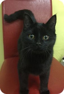 Domestic Shorthair Cat for adoption in Byron Center, Michigan - Brock