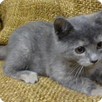 Adopt A Pet :: SilverBelle - Dallas, TX