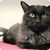 Adopt A Pet :: Gram Parsons - Chicago, IL