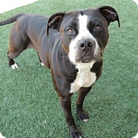 Pit Bull Terrier Dog for adoption in Long Beach, Washington - Lucy
