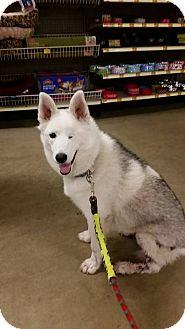 Husky/Keeshond Mix Dog for adoption in Rosamond, California - Luna