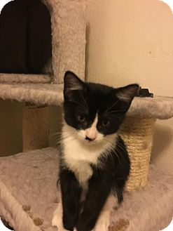 Domestic Shorthair Kitten for adoption in Arvada, Colorado - Baby Ruth