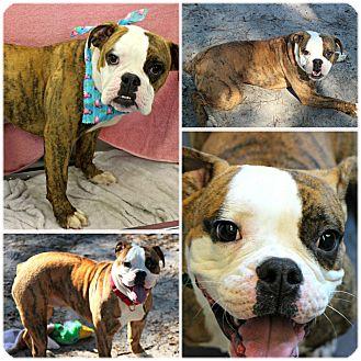 English Bulldog/Boxer Mix Dog for adoption in Forked River, New Jersey - Savannah