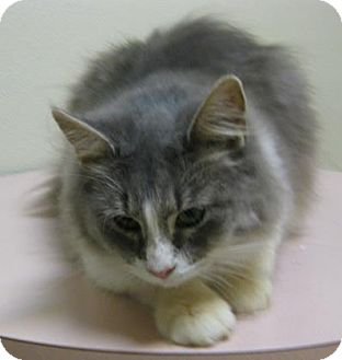 Domestic Mediumhair Cat for adoption in Gary, Indiana - Shelly