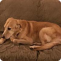 Adopt A Pet :: Lacey - New Boston, MI