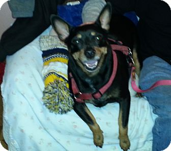 Miniature Pinscher Mix Dog for adoption in Holland, Ohio - Max