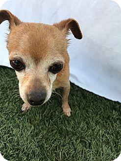 Chihuahua Mix Dog for adoption in Chula Vista, California - Finn