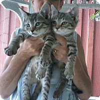 Adopt A Pet :: The Ragdoll Kittens - Kinston, NC