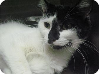 Domestic Longhair Cat for adoption in Chicago, Illinois - Ricky Lee