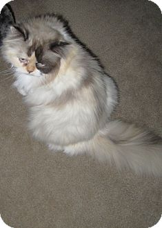 Persian Cat for adoption in Loveland, Colorado - Roxy
