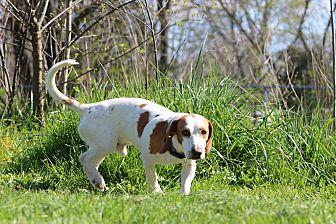 Beagle/Basset Hound Mix Dog for adoption in Pleasant Plain, Ohio - Charlie