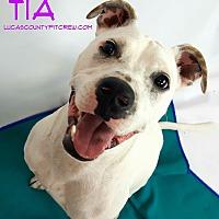 Adopt A Pet :: Tia - Toledo, OH