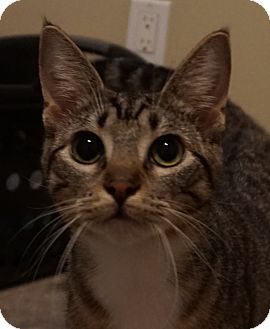 Domestic Shorthair Cat for adoption in Houston, Texas - Gertrude (super sweet!)