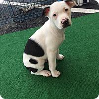 Adopt A Pet :: Yeti - Atlanta, GA