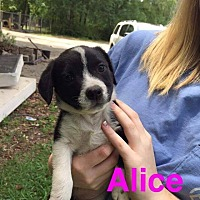 Adopt A Pet :: Alice - Shaw AFB, SC