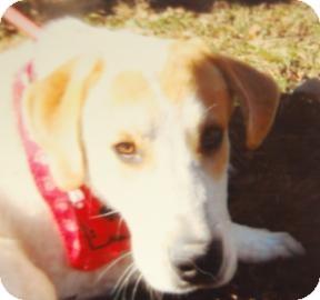 Australian Cattle Dog Mix Dog for adoption in Brooklyn, New York - Gumbo