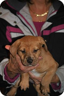 Catahoula Leopard Dog/Chow Chow Mix Puppy for adoption in Webster, Minnesota - Tim Mcgraw