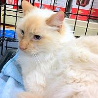 Adopt A Pet :: Marie - Madisonville, LA