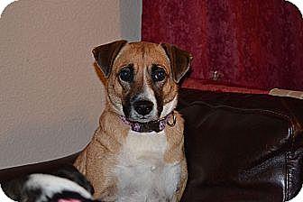 Shepherd (Unknown Type)/Labrador Retriever Mix Dog for adoption in Fort Worth, Texas - Carla