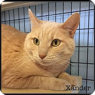 Domestic Shorthair Cat for adoption in Jasper, Indiana - Xander