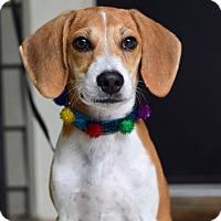 Adopt A Pet :: Billy Bob - Baton Rouge, LA