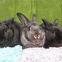 Adopt A Pet :: Bongo, Iris & Coal - Montclair, CA