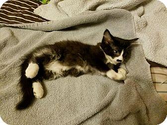 Domestic Shorthair Kitten for adoption in Rockford, Illinois - Boots
