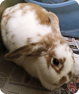 Mini Lop Mix for adoption in Edinburg, Pennsylvania - Amelia