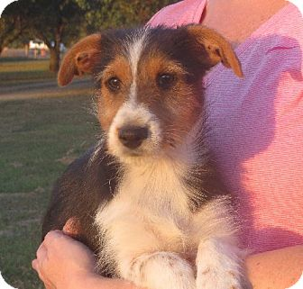 Sheltie, Shetland Sheepdog/Yorkie, Yorkshire Terrier Mix Puppy for adoption in Westport, Connecticut - Renee