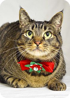 Domestic Shorthair Cat for adoption in Dublin, California - Rosalee