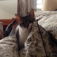 Domestic Shorthair Cat for adoption in New York, New York - Kelvin