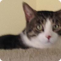 Adopt A Pet :: Mr. Tibbs - Laguna Woods, CA