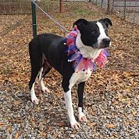 Terrier (Unknown Type, Medium) Mix Dog for adoption in Shelburne, Vermont - Franklin