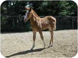 Quarterhorse for adoption in El Dorado Hills, California - Electra