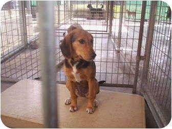 Hound (Unknown Type) Mix Dog for adoption in Madison, Florida - Callie