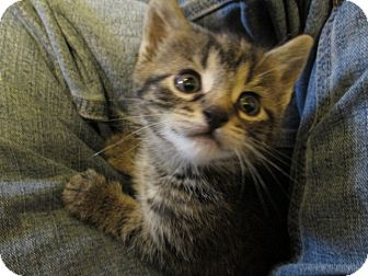 American Shorthair Kitten for adoption in Richland, Michigan - Penelope